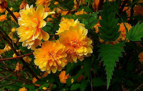 boglárkacserje virága