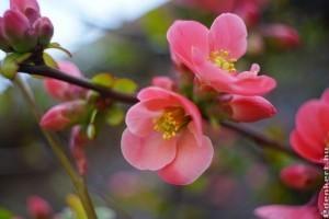 2 tavasszal virágzó cserje: boglárkacserje és japánbirs