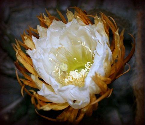 Éj királynője kaktusz