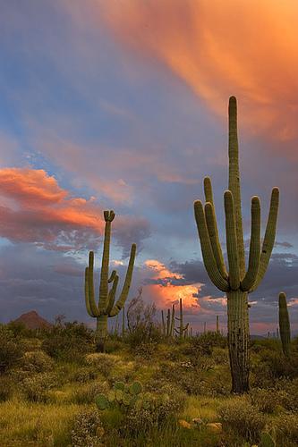 Sagurocactus Gigantea