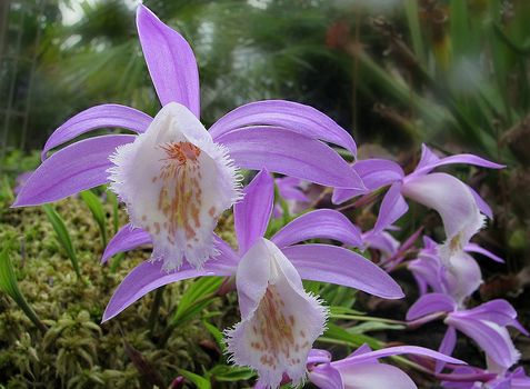 pleione orchidea