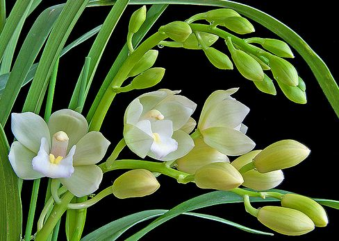 ymbidium orchidea