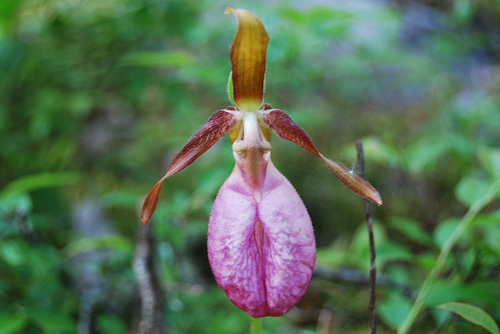 ypredium orchidea