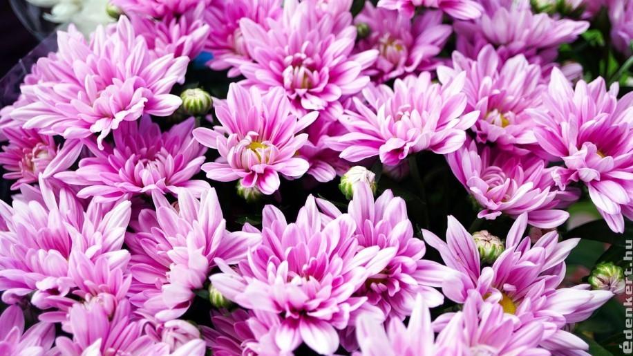 Krizantém, az ősz kedvenc virága