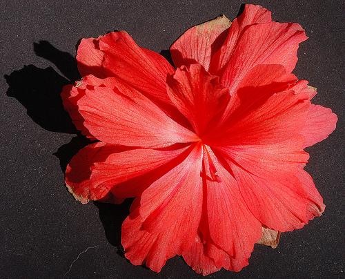 Begonia tuberhibrida