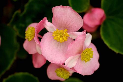 begonia semplenflores
