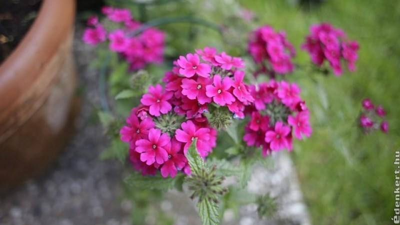 A kerti verbéna (Verbena hybrida)
