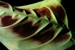 Nyílgyökér - az imádkozó növény