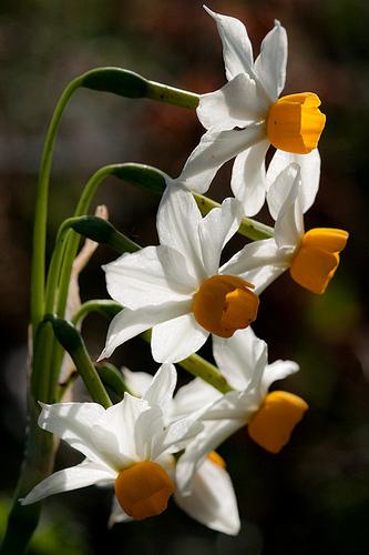 gyönyörű nárciszok