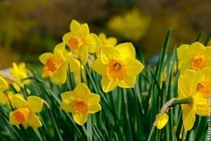 Nárcisz - a hiúság, vagy a szerencse virága?