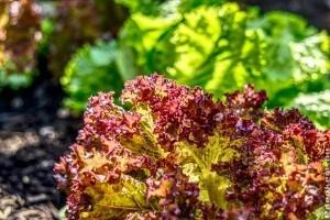 Mi a különbség a fejes saláta és a tépősaláta (lollo rosso) között?