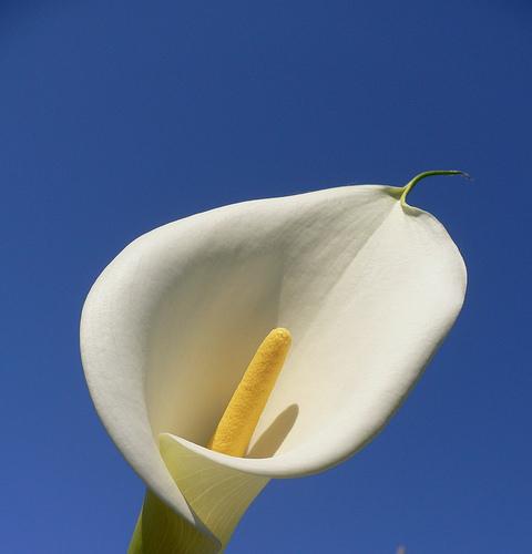 kála -Zantedeschia aethiopica