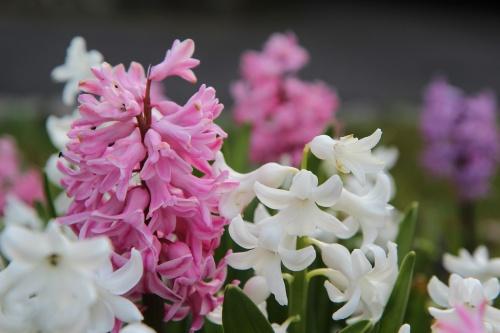 hyacinth-3296965_1920
