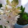 A jácint (Hyachinthus)
