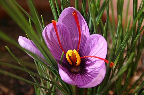 Sáfrány virága