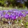 Miért a világ legdrágább fűszere a sáfrány?