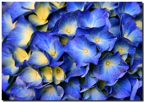 Hogyan neveljünk kék virágot Ceanothus