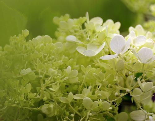 fehér virágú hortenzia