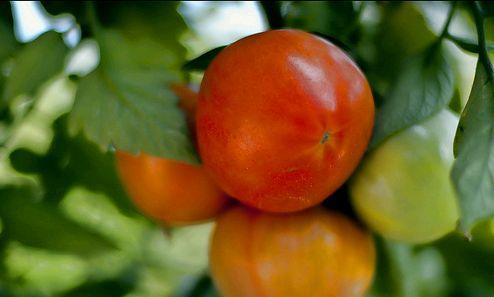 5 Tipp a paradicsom cserépben való termesztéséhez