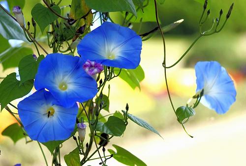 nagyvirágú hajnalka