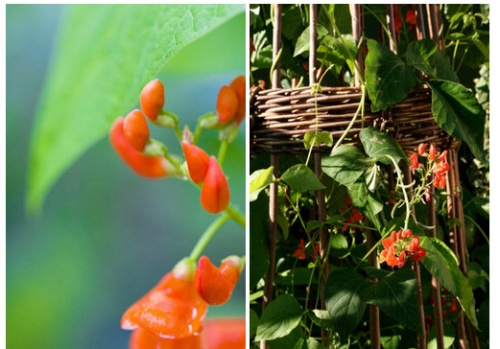 A díszbab szép virágaival díszíti a környezetünket és fogyasztható is