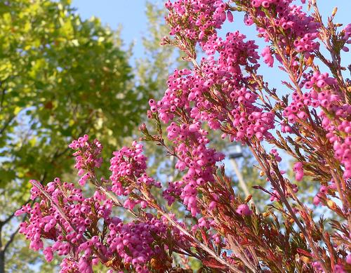 csarab, erika növény