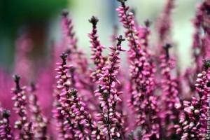 Egy csodaszép őszi-téli balkon virág: csarab
