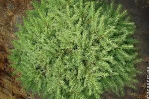 Milyen törpe örökzöldeket ültessünk a kertünkbe?