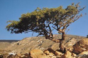 Balzsamfa (Commiphora spp.)