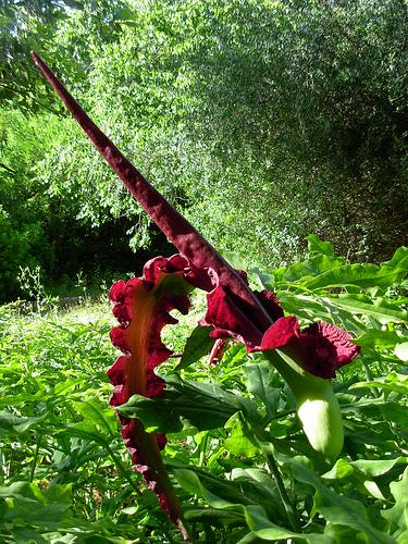 Sárkánykontyvirág