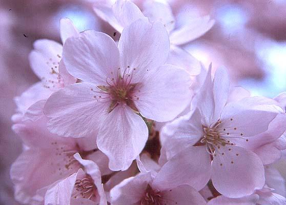 Prunus yedoensis