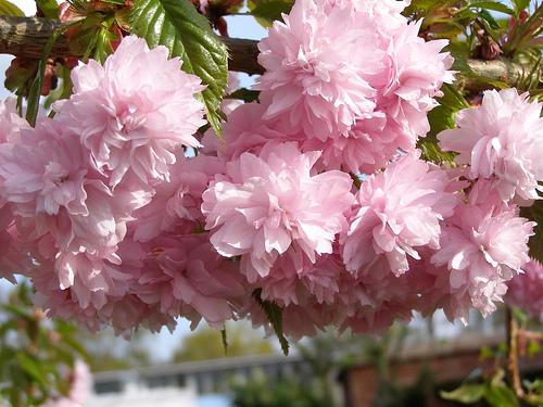 Kiku-Shidare-Sakura