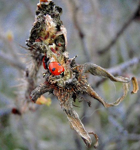 Kétpettyes katicabogár
