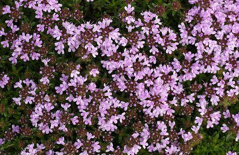 kakukkfű virága