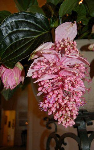 medinilla virága