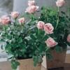 Hogyan gondozzuk a cserepes rózsát?