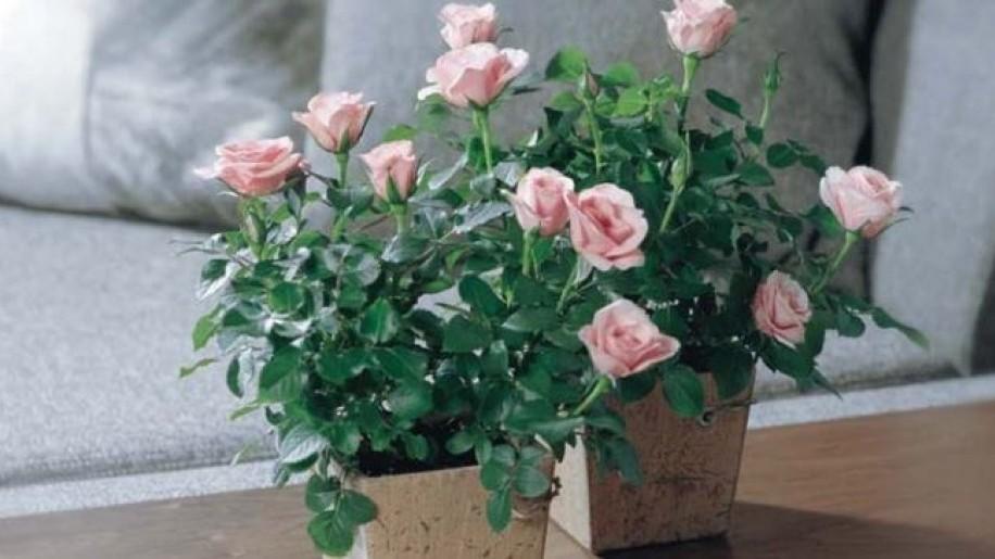 Így ápold a cserepes rózsát, hogy sokáig szép maradjon!