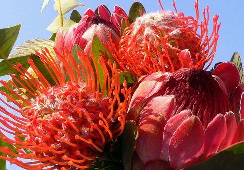 protea virágok