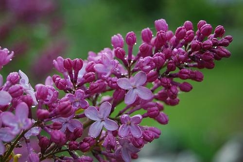 orgona virága