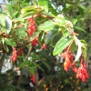 Viaszbegónia (Begonia fuchsioides)