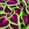 Virágcsalán (Solenostemon Scutellarioides)
