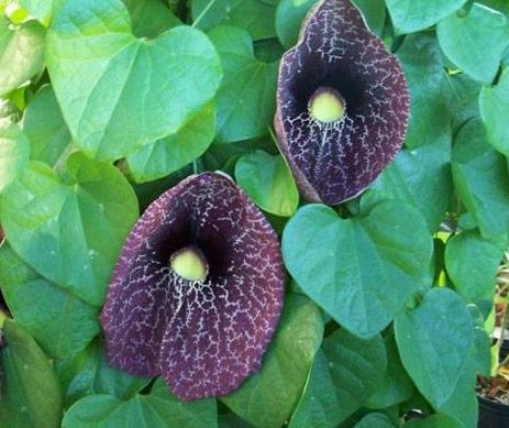 csúnya virág