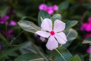 Rózsameténg (Catharanthus roseus)