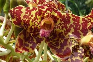 Melyik a világ legnagyobb és leghosszabb orchideája?