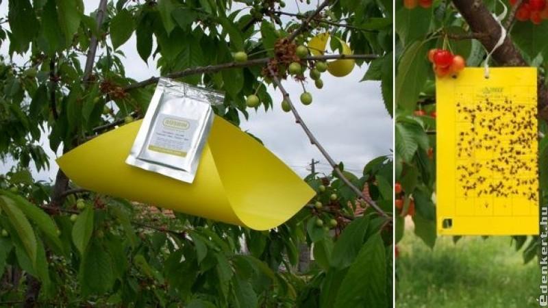 Szín- és illatcsapdák: természetbarát védekezés a gyümölcsfák kártevői ellen