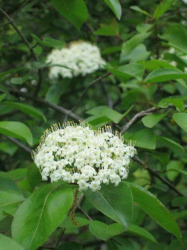 (Viburnum prunifolium