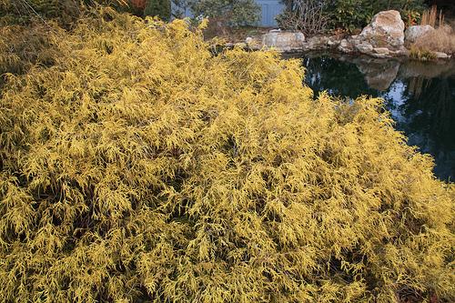 """Chamaecyparis pisifera """"King´s Gold"""