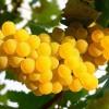 Mire használjuk a szőlőmag olajat?