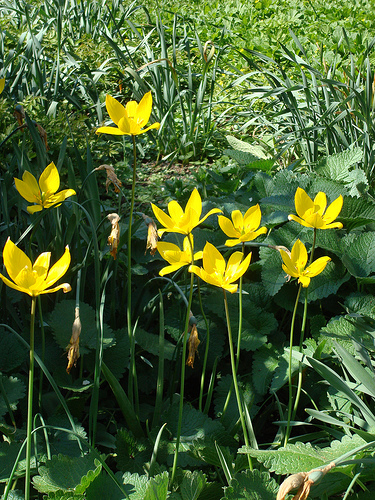erdei tulipán