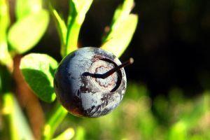 Amit a fekete áfonyáról tudni kell!
